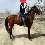 اسب نژاد عرب ۵ساله